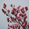 Magnolie #magnolie