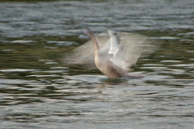 efemeryda #łabędzie #ptaki #zalew #woda