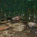 #woda #kaczka #NiebieskieŹródła #TomaszówMazowiecki