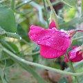 #kwaiaty #kwiat #rosa