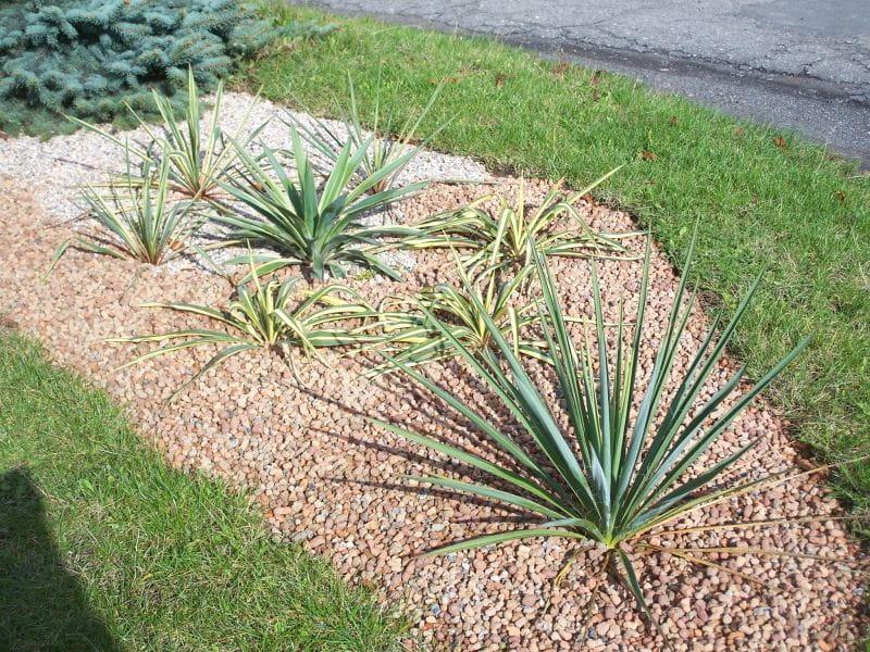 le forum des fous de palmiers pl mon jardin polonais. Black Bedroom Furniture Sets. Home Design Ideas