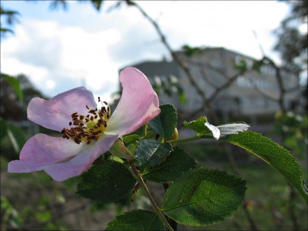 #róża #krzew #szkoła #budynek #jesień
