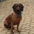 Korka :) #Kora #pies #PosokowiecBawarski