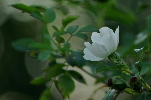 #lato #DzikaRóża #natura