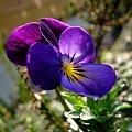 Dzikie bratki #bratki #kwiatki #wiosna