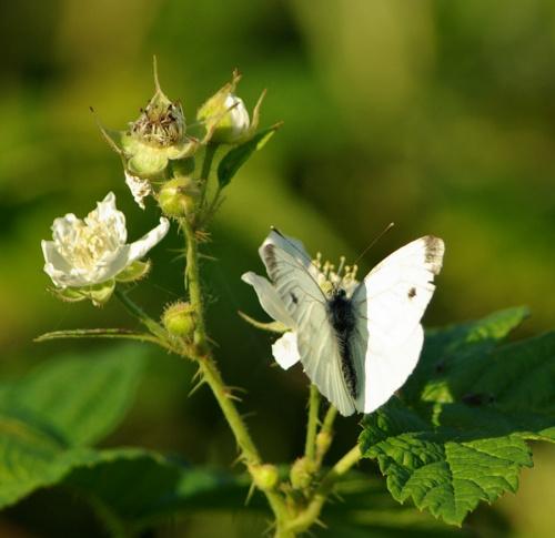 #lato #natura #motyl #jeżyny #bielinek