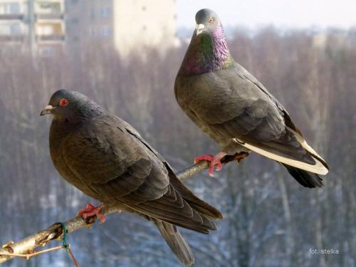 na balkonie ... :)) #ptaki #gołębie #balkon #zima