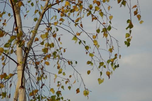 #jesień #brzoza