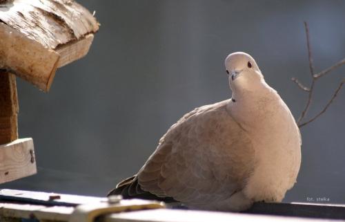 one też przychodzą do karmnika ... :) #ptaki #sierpówki #balkon #zima #WKarmniku