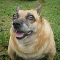 Moja Sonia #pies #kundelek #suczka