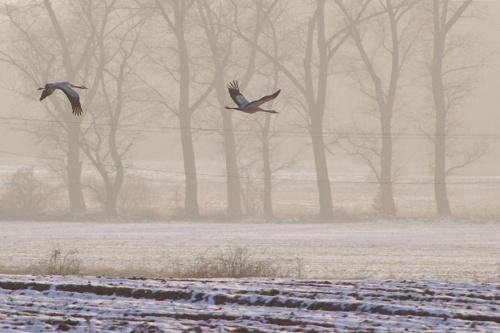 żurawie....!?; a ja myślałam, że one na zimę odlatują :) #zima #luty #żurawie #ptaki