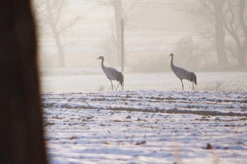 #ptaki #żurawie #zima #luty