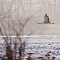#żurawie #ptaki #zima #pole #luty
