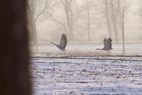 #zima #luty #żurawie #ptaki