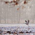 #ptaki #żurawie #pole #zima #luty