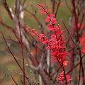 kolorki różne ... :)) #liście #jesień #berberys
