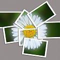 stokrotka #stokrotka #KwiatekKwiatki #photoshop #fotomontaż