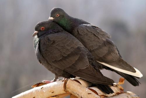 moje gołąbki ... #ptaki #gołębie #NaBalkonie #zima