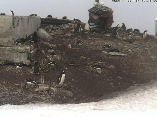 Pingwiny Adeli
