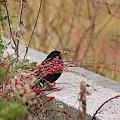 nie mogłam go inaczej podejść ... :)) #ptaki #kosy #jesień #park
