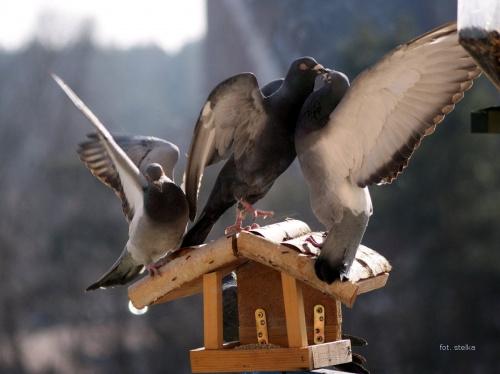 wojna o kaszę :)) #ptaki #GołębieNaBalkonie #zima