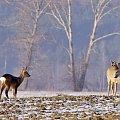 #zima #pole #luty #zwierzęta #sarny