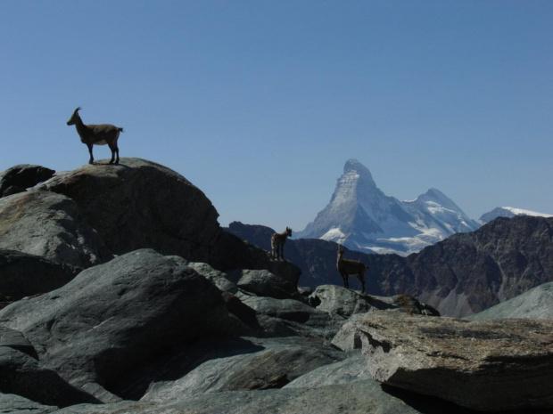 Alpy - Kozica alpejska (Rupicapra rupicapra) - ssak z rodziny krętorogich (Bovidae), zamieszkujący wysokie góry, takie jak Alpy, Kaukaz, Taurus, Bałkany, Karpaty Wschodnie oraz Tatry. Kozice są zwierzętami stadnymi, żyją w niewielkich stadach zwanych k...