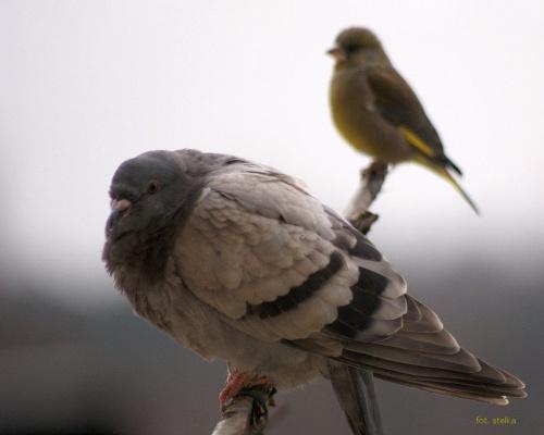 na balkonie ... #ptaki #gołębie #NaBalkonie