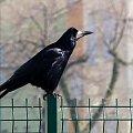 gawronek ... #ptaki #gawron #przedwiośnie