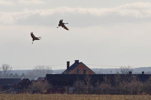 #ptaki #wieś #żurawie #marzec