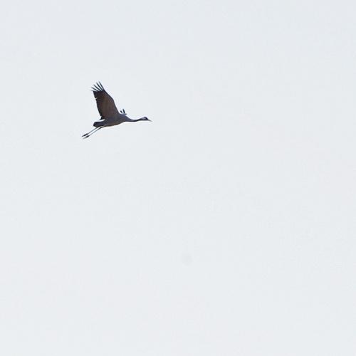 #ptaki #żurawie