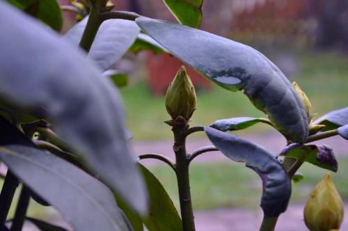 Różanecznik, azalia, rododendron (Rhododendron, Azalea L.)