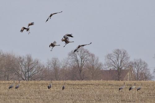 #pole #marzec #ptaki #żurawie #wieś