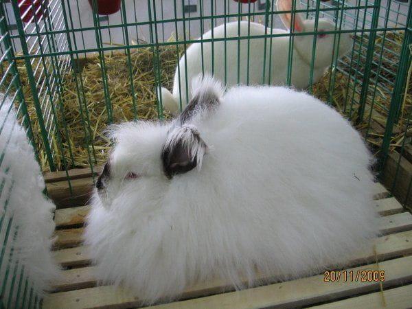 Angora rosyjska. #królik