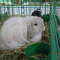 Baran francuski miniatura. #królik