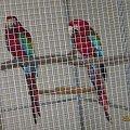 Ara zielonoskrzydła /Arakang/. #papugi