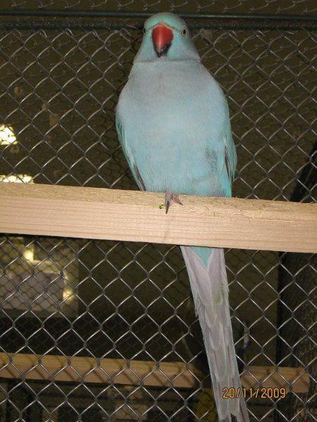 Aleksandretta niebieska. #papuga