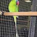 Aleksandretta śliwogłowa. #papuga