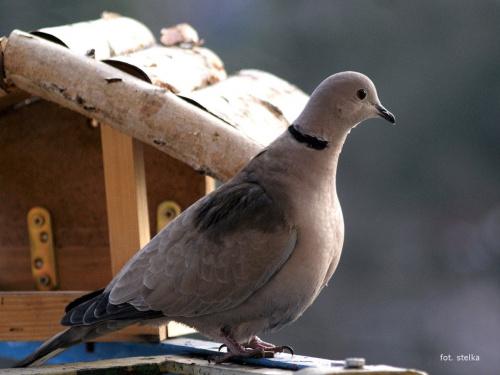 moje cukrówki ... #ptaki #gołębie #sierpówki #cukrówki #NaBalkonie #przedwiośnie