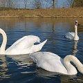 pozdrawiam Was cieplutko z deszczowego Kędzierzyna ... :)) #ptaki #łabędzie #woda #KanałGliwicki #przedwiośnie