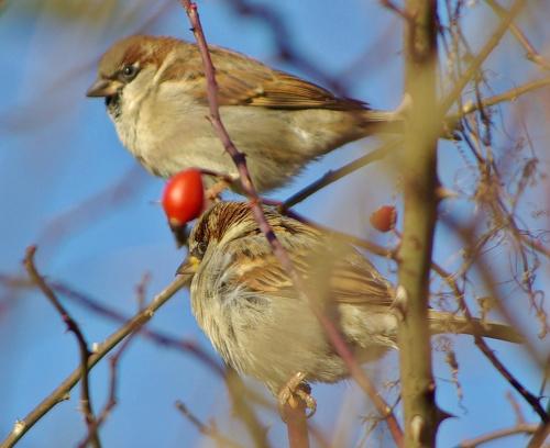 #ptaki #wróble