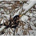 #ptaki #zima #kos