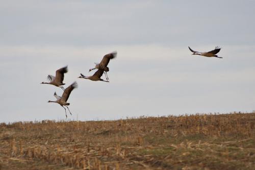 #ptaki #pole #żurawie #marzec