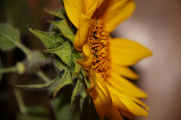 słonecznik i #kwiaty #kwiat #słonecznik #słoneczniki