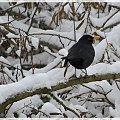 #zima #śnieg #ptaki #kos