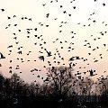 dużo ich było na polu i w powietrzu ... #ptaki #mewy #śmieszki #pola #łąki #wiosna #przyroda
