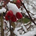troszeczkę zimy ... #berberys #zima #śnieg #ogród