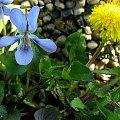 wiosny nigdy dość ... :) #chwasty #fiołki #kwiaty #makro #mlecz #MniszekLekarski #ogród #wiosna