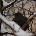 nie wiem co to za jeden ale siedział sobie w krzaczkach:) #ptak #zima #gałęzie