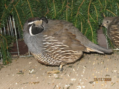 Przepiór kalifornijski - samiec.